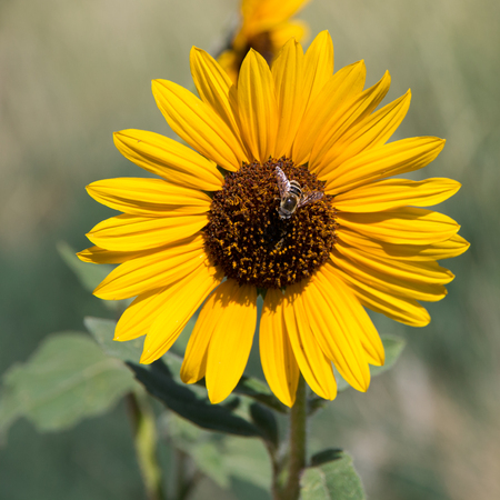 Beautiful Bee on a Sunflower photo