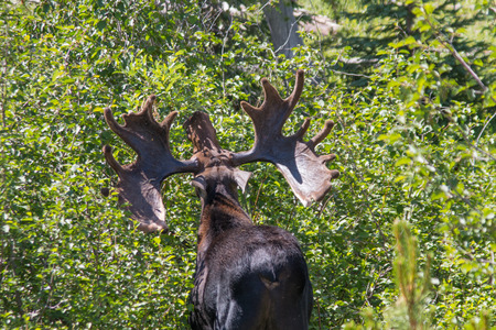 big moose: This Bull Moose in Rocky Mountain National Park has a seriously big rack.   Stock Photo