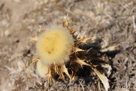 aegean: Dry flower Aegean Coast Didim, Aydin, Turkey