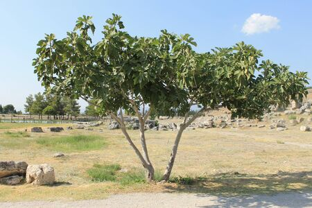 hierapolis: Fig tree in Hierapolis ruins of the ancient city Pamukkale in Turkey
