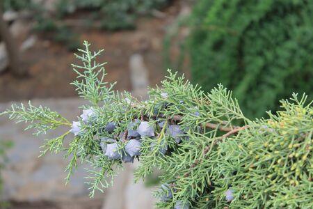 enebro: bayas de enebro, con planta de coníferas verde fragante