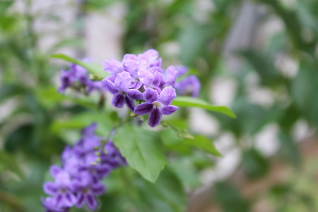 tropical shrub: Durante plant of the family Verbenaceae blossoming tree