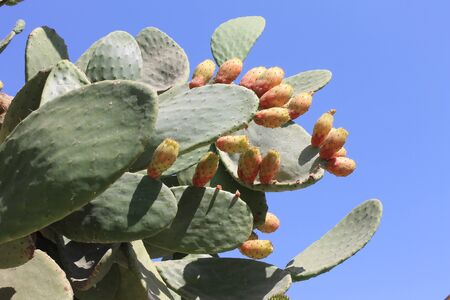 prickly pear: Edible prickly pear cactus with ripe fruits of a great harvest
