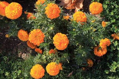 marigolds: Marigolds taggetsy flower beds summer orange yellow beautiful