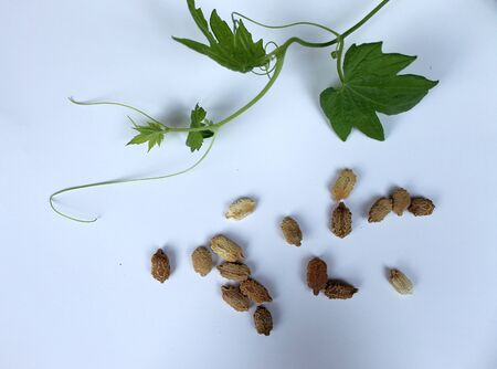 cucurbitaceae: Momordica plant with leaves and seeds, a liana of the Cucurbitaceae family