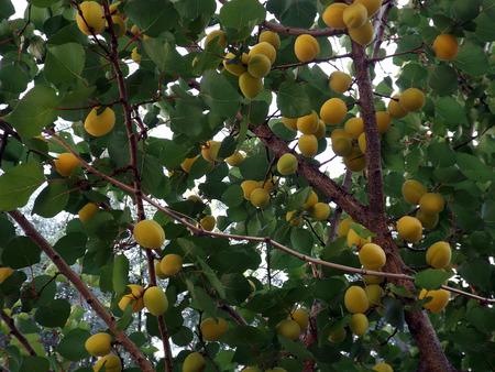 strut: Orange apricots growing on an apricot tree