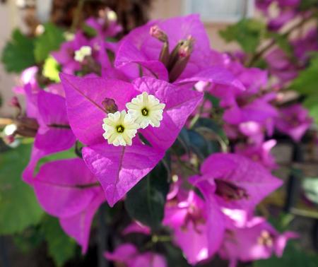 elasticidad: Flores de buganvilla hermosas en jard�n de la naturaleza