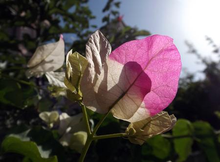 elasticity: Flores de buganvilla hermosas en jardín de la naturaleza