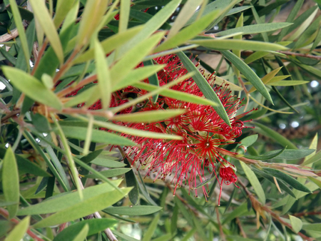 callistemon: Callistemon or Bottlebrushes flower in the garden