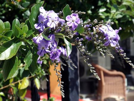 dewdrop: Duranta erecta purple flower aka Golden dewdrop Pigeon berry Sky flower