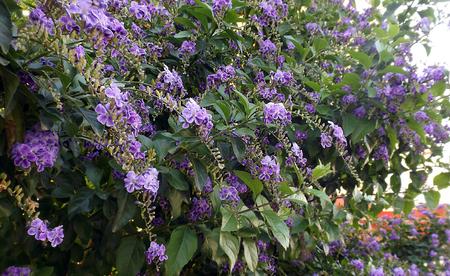 elasticity: Duranta erecta flor púrpura de oro también conocido como bayas gota de rocío de la flor de la paloma del cielo Foto de archivo