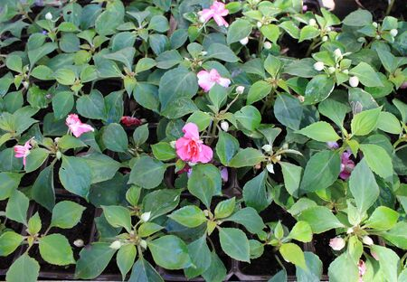 impatiens: Impatiens flower garden seedlings for planting in the ground Stock Photo