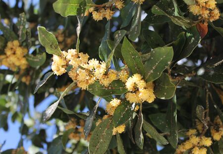 struck: Flowering branch of laurel tree, struck by insects