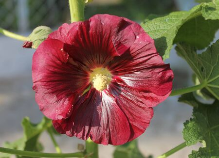 mallow: Mallow, stem-rose mallow - flower garden burgundy Stock Photo