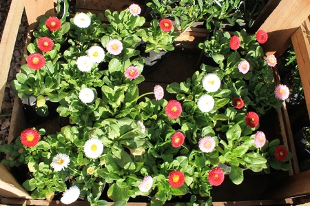 floriculture: Daisy seedlings in a box for a landing on a flower bed