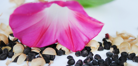 reproduce: Morning Glory flower seeds and leaves on the table Stock Photo