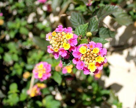 lantana: Flower lantana prickly (lantana camara) on the bush