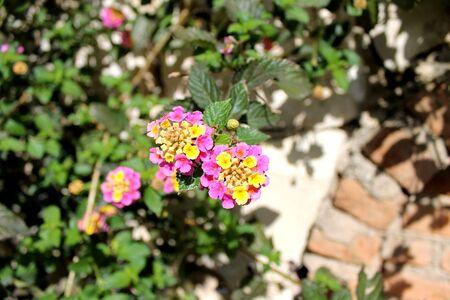 lantana camara: Flower lantana prickly (lantana camara) on the bush