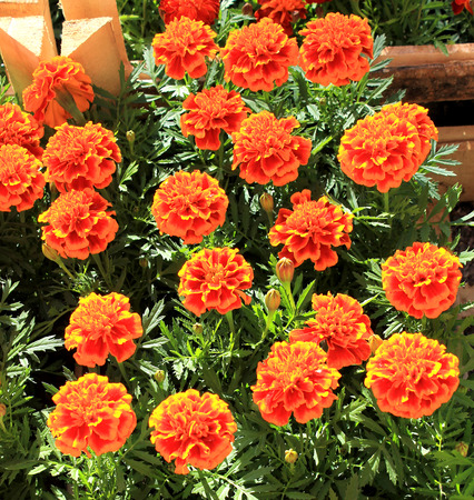 pot marigold: Tagetes flowers on a background of green foliage in spring