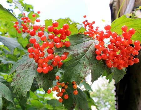 Viburnum bush with red berries Banco de Imagens