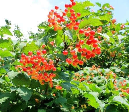 Viburnum bush with red berries Imagens