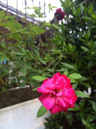 frontyard: Rose at frontyard Stock Photo