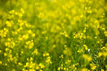 canola plant: Rape blossoms