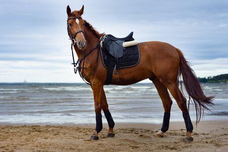 caballo de mar: young horse on the coast in cloudy weather Foto de archivo