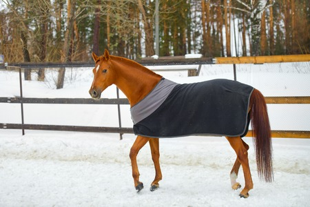 blanket horse: the red horse in the blanket in cold weather in winter