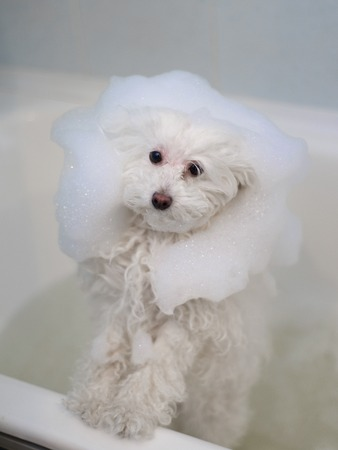 white poodle: A little white poodle dog taking a bubble bath