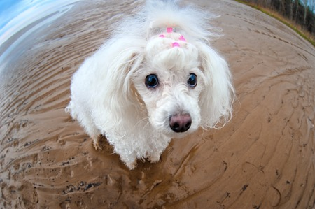 white poodle: little white poodle dog on a walk, little dog in a huge world