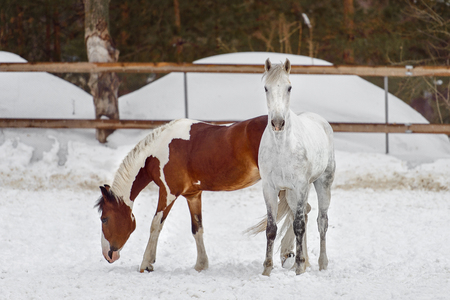 Domestic horses of different colors walking in the snow paddock in winter. The concept of keeping Pets.