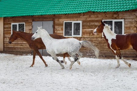 Domestic horses of different colors walking in the snow paddock in winter. The concept of keeping Pets. Stockfoto - 117851393