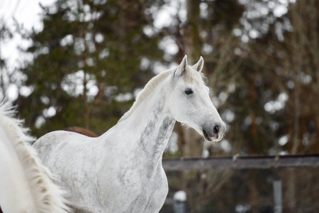 portrait of domestic piebald horse walking in the snow paddock in winter. The concept of keeping Pets.