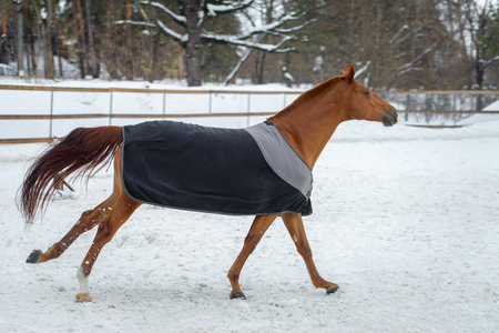 Domestic red horse walking in the snow paddock in winter. The horse in the blanket. The concept of keeping Pets. Stockfoto
