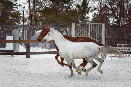 Domestic horses of different colors walking in the snow paddock in winter. The concept of keeping Pets. Stockfoto - 117851417