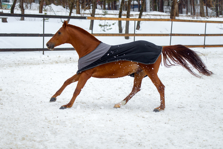 Domestic red horse walking in the snow paddock in winter. The horse in the blanket. The concept of keeping Pets. Stockfoto - 117851464