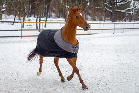 Domestic red horse walking in the snow paddock in winter. The horse in the blanket. The concept of keeping Pets. Stockfoto - 117851466