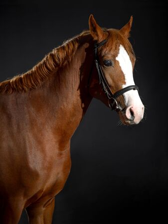 Portrait of a Bay horse with a large white spot on its muzzle in a stable on a dark background
