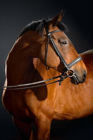Portrait of bay horse with classic bridle isolated on dark stable background 免版税图像