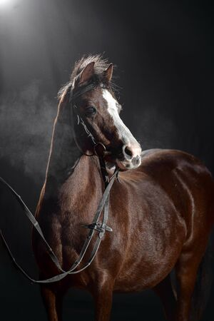 Portrait of a small beautiful dark Bay pony with a large white spot on its muzzle isolated on dark stable background