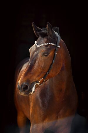 Portrait of bay horse with classic bridle isolated on dark stable background