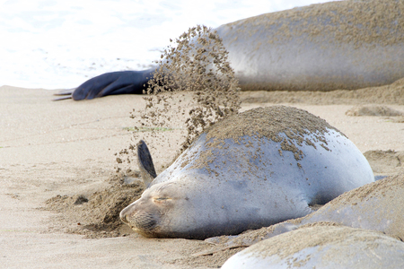 Female elephant seal flipping sand onto her back. Their bodies are designed to keep warm in cold water. Sand flipping helps them keep cool on land by acting as a sunscreen.