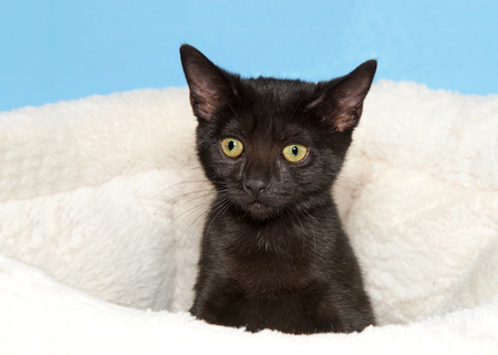 Close up portrait of a small black short haired kitten peaking out of an off white sheepskin bed looking curiously at viewer. Blue background. Stock Photo