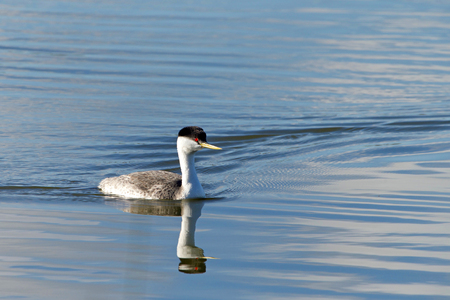 A Western Grebe swimming on a calm lake.  The western grebe is the largest North American grebe. 免版税图像