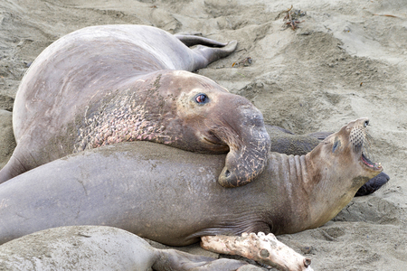male elephant seal attempting to breed with female, who is vocalizing protest. Elephant seals breed annually and are seemingly faithful to colonies that have established breeding areas 写真素材