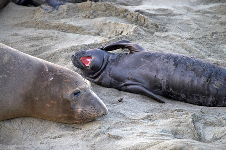 Elephant seal laying on a beach in California, mother and baby laying on a beach, baby with mouth open flipper to side of face. Elephant seals take their name from the large proboscis of the adult male (bull), which resembles an elephant