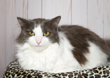 Portrait of a grey and white tabby cat with green eyes looking directly at viewer, laying on a cheetah print bed with wood panel background Stok Fotoğraf