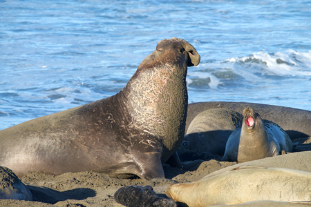 Male elephant seal laying on a beach, vocalizing. Elephant seals take their name from the large proboscis of the adult male (bull), which resembles an elephant 版權商用圖片