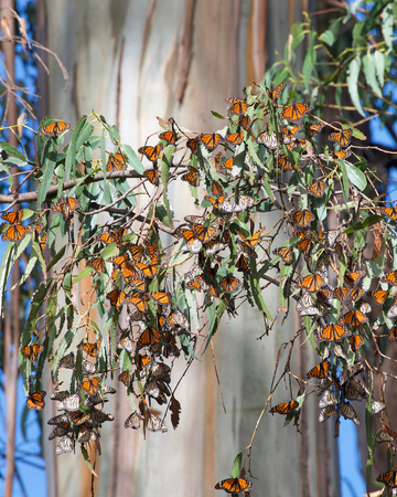 Many Monarch Butterflies clustered in a Eucalyptus Tree, trunk of the tree in the background. The monarch butterfly may be the most familiar North American butterfly and an iconic pollinator species. Stock Photo